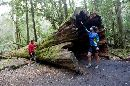 An enourmous fallen tree in the aptly named Land of the Giants in Mount Field national park