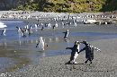 Royal Penguins and Elephant Seals messing around on Macquarrie Island