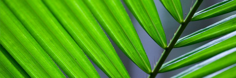 Palm fronds, Daintree Rainforest, Australia
